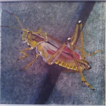 southern lubber grasshopper, 2013