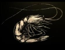 shrimp.sketch